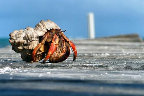 Hermit Crab, Caye Caulker, Belize by Adam_1976