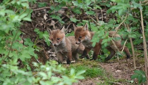 fox cubs by sheepdogshady