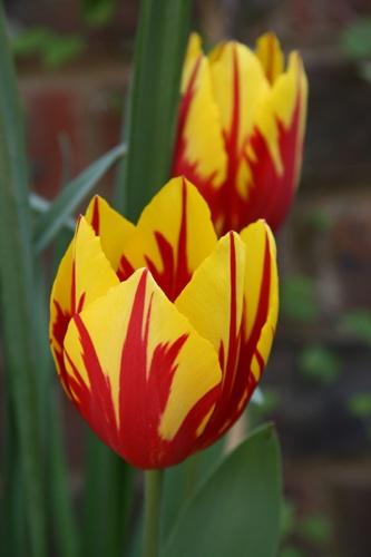 Tulip by Scorpio74