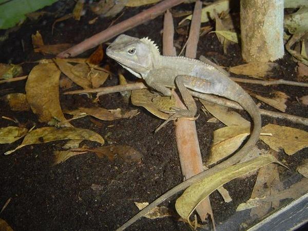 Lizard by scuba_do