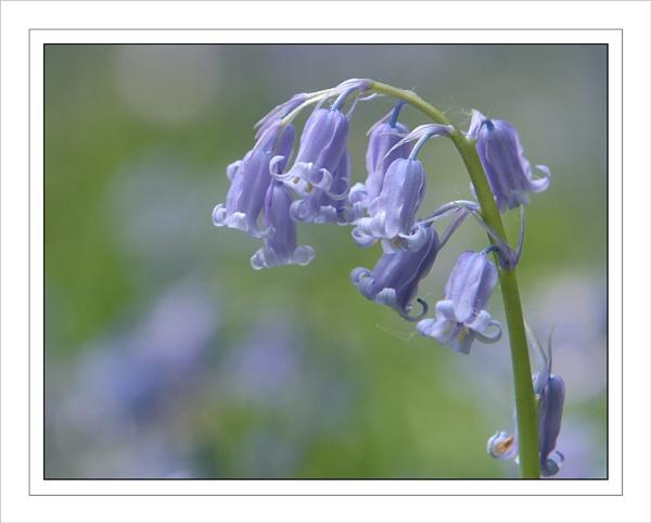 Bluebells... by ejtumman