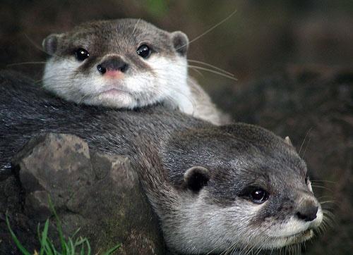 asian otters 2 by Matthew_Leyshon