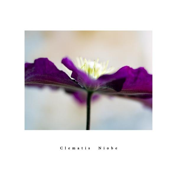 Clematis Niobe by Phoebecat
