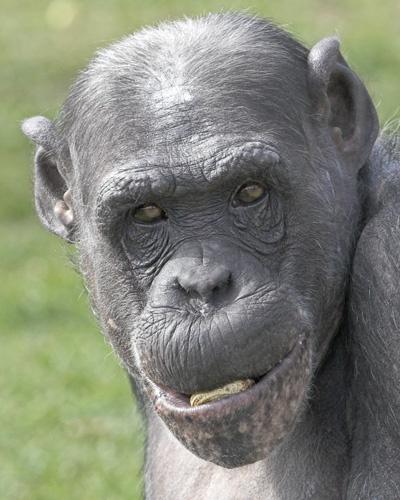 Chimpanzee by Camaro