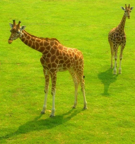 Giraffe by bradders
