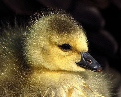 Duckling by davao8