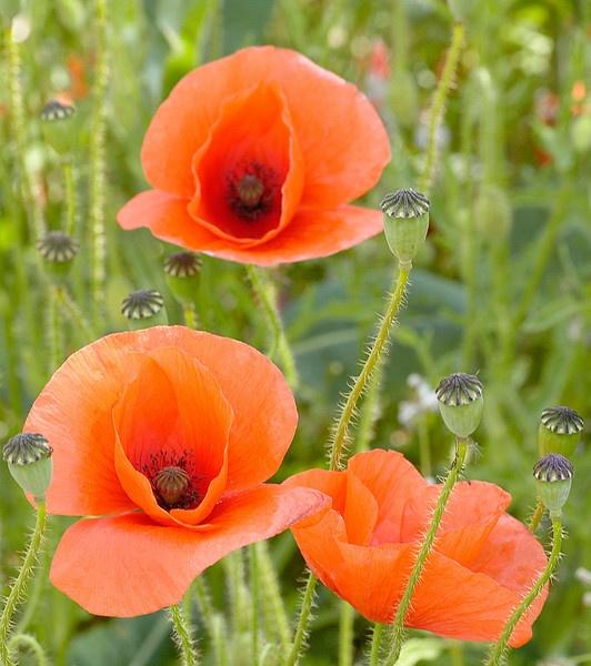 Wild Poppies by Gudgeon