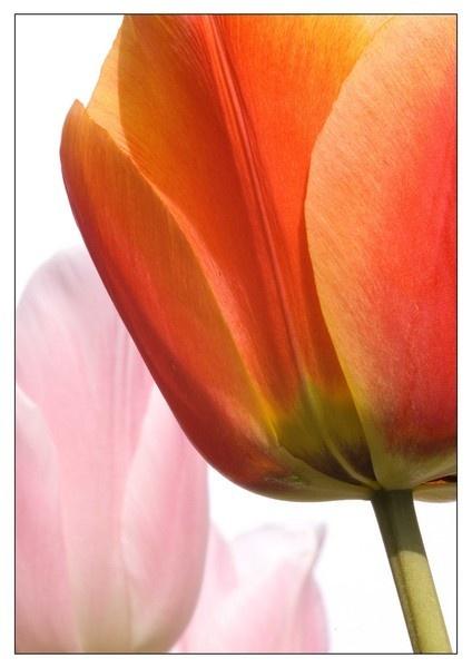 tulip by CRAIGR2