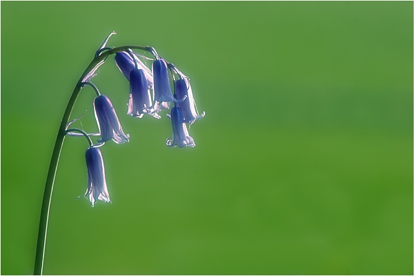 Bluebells (re-post) by BigCol