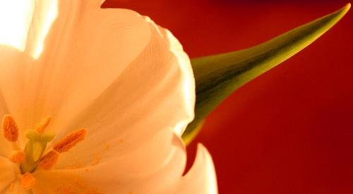 Tulip by Adam_1976