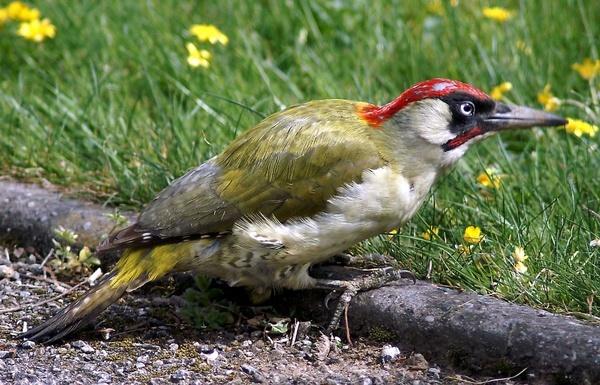 Green Woodpecker by Thincat