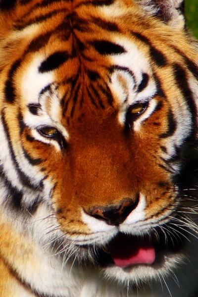 Tiger by pj.morley