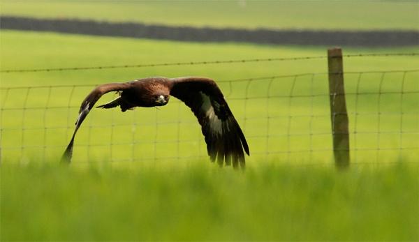 Eagle :0) by siderath