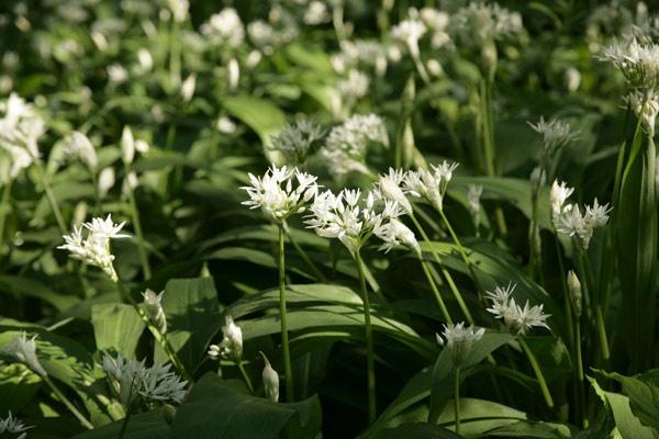 Wild Garlic by alansnap