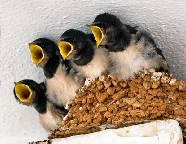 Swallows 1 by sherlob