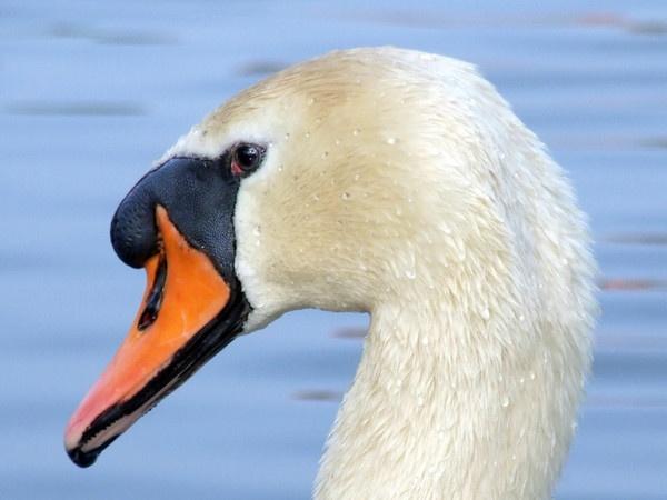 Swan Head by Lorraine