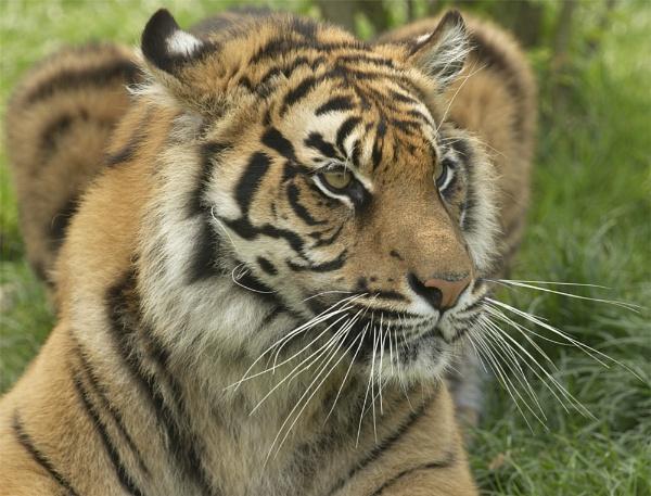 Tiger Stalking - WHF by ReidFJR