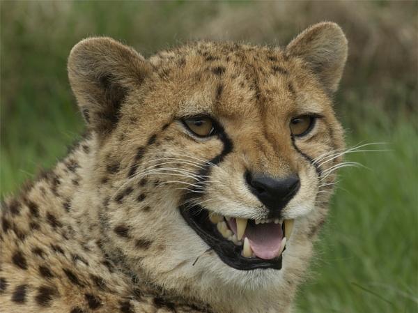Cheetah - WHF by ReidFJR
