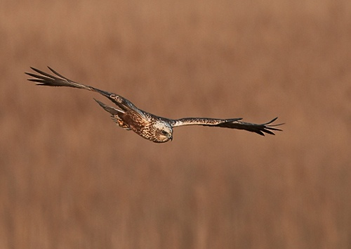 Marsh Harrier by MartinjD