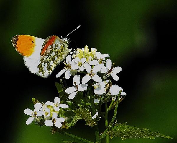 orange tip butterfly by dden