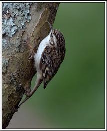 Treecreper (Certhia faminaris)