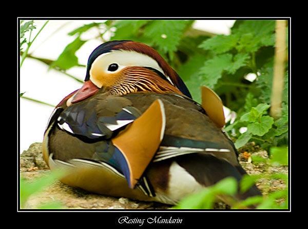 Resting Mandarin by Steb