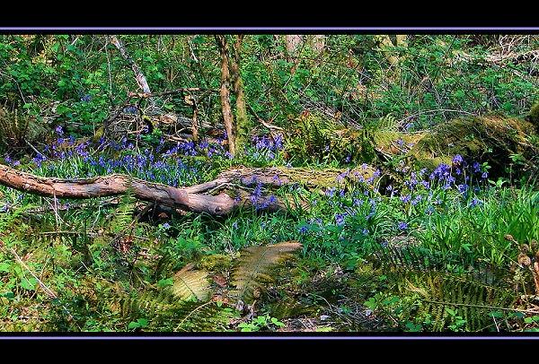 Bluebells by Callanan