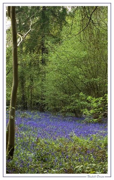 Bluebell dream by yar123
