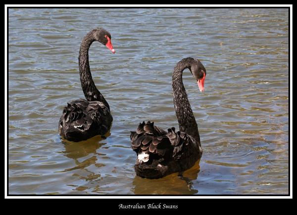 Australian Black Swans by mickf1