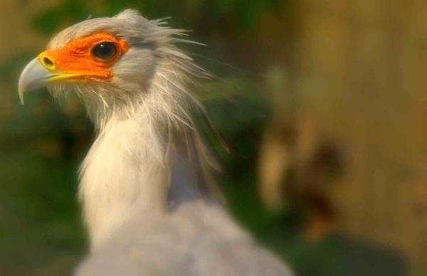 Secretary Bird by bradders
