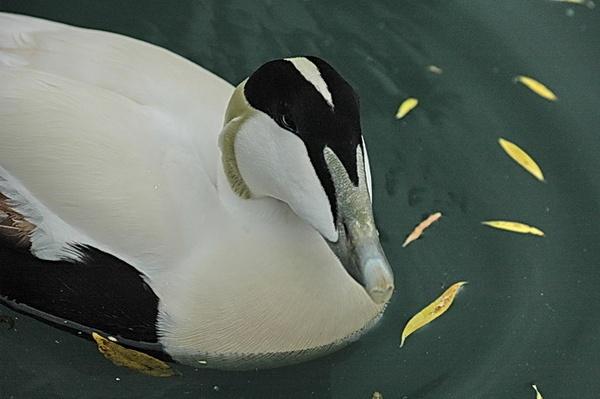 european eider duck by pluckyfilly