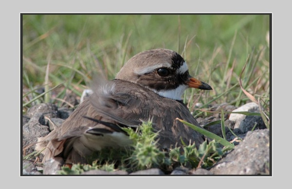 RINGED PLOVER by Magpiemick