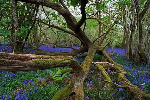 Bluebells - Bulbarrow II by Derek3755