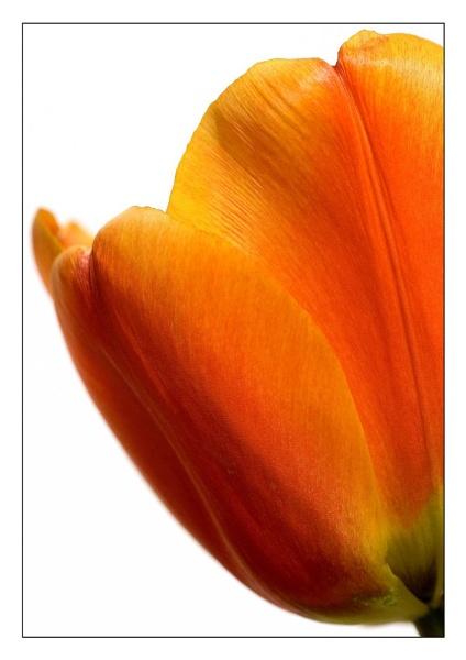 tulip up close by CRAIGR2