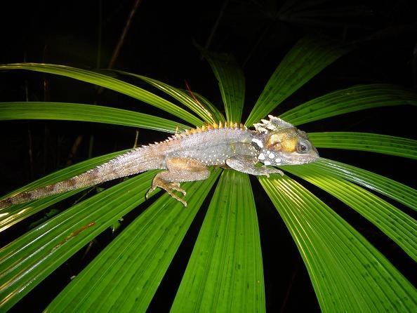 Boyd\'s Forest Dragon (Gonocephalus boydii) by scuba_do