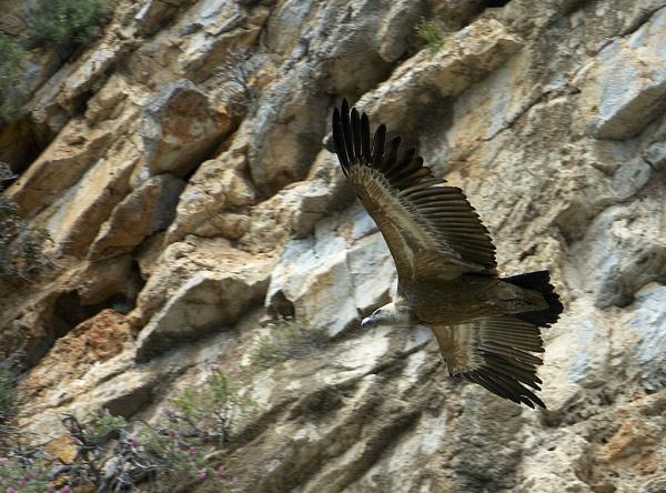Griffon Vulture by IanA