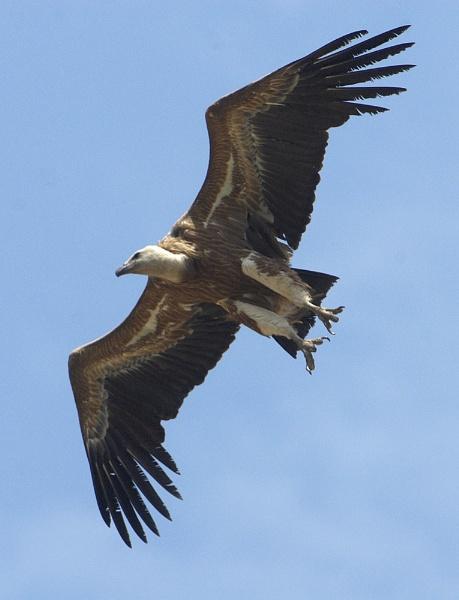 Griffon Flight by IanA