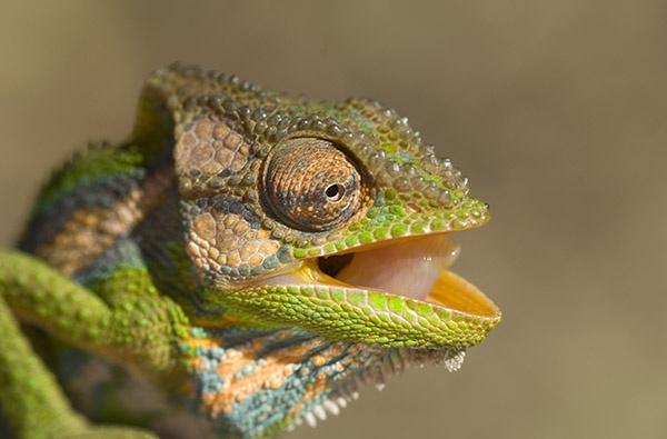 Cape Dwarf Chameleon by sferguk