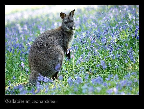 Wallabies at Leonardslee by Snapper_T
