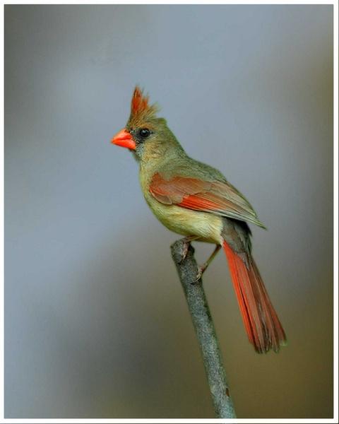 Northern Cardinal (Female) by glazzaro