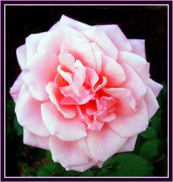 Pink Floribunda by trissie