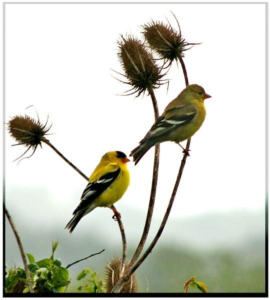 #2 In my Goldfinch series by mommy2cutekids