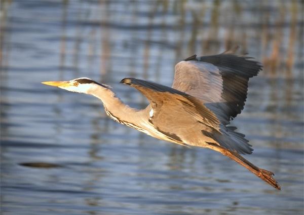 Heron in flight by LawrenceP