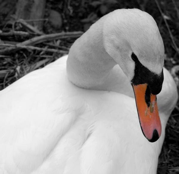 swan by suzmk