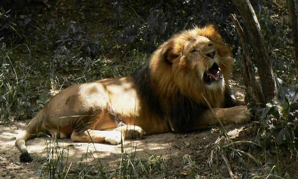 Lion in Zzzzion by Hughmondo
