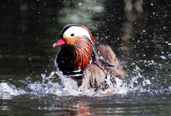Splashing Mandarin by markb2815