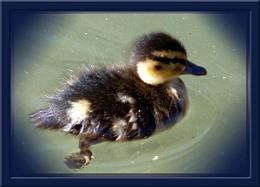 Lone Duckling