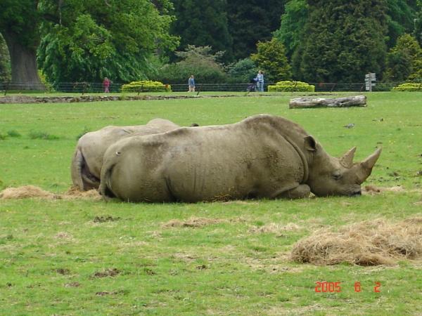 Rhino by bolebrown