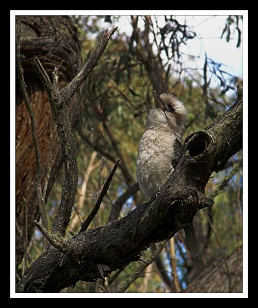 Kookaburra by Skier