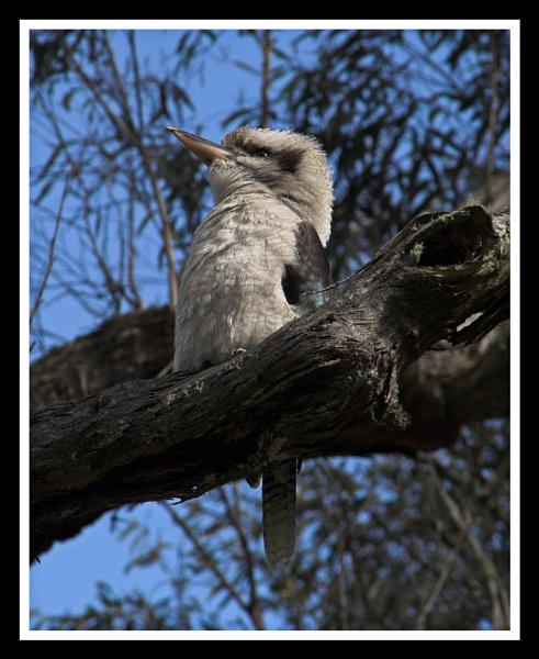 Kookaburra II by Skier